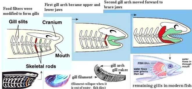 Illustration of how the anterior gill arches moved forward to become jaws.
