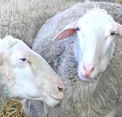 Installation des moutons à la Ferme des Buis