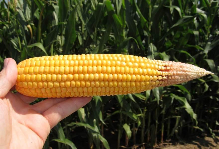 Дефицит азота у кукурузы4