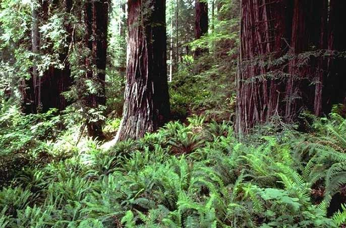 Redwood ferns