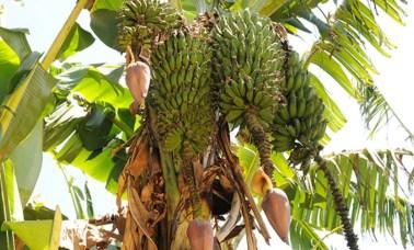 banana - A Banana Faz O Sorvete Demorar Para Derreter?