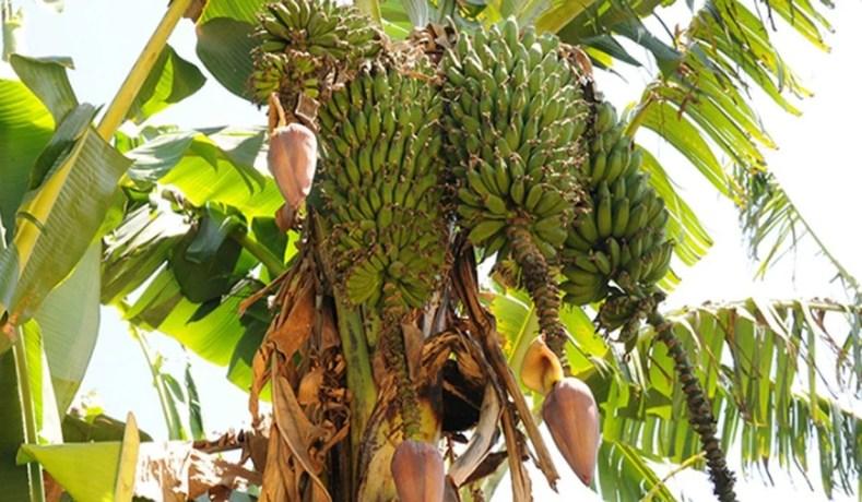 A Banana Faz O Sorvete Demorar Para Derreter?