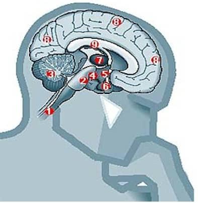 zonas que se activan con el comportamiento