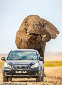 Escape of a lifetime: Angry Elephant Chases Campers in Kenya (Animal Attacks)