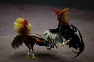 Cockfighting Rooster kills Cop Christine Bolok (Weird Story)