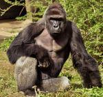 01-gorilla-harambe-death