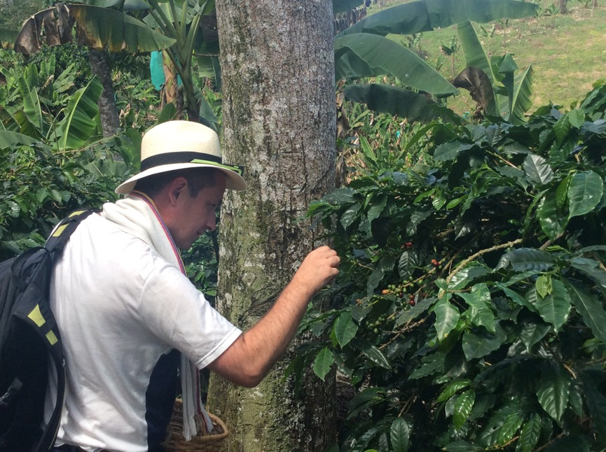 Examining coffee plants at El Carriel, Quimbaya