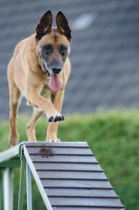 dog agility foundations