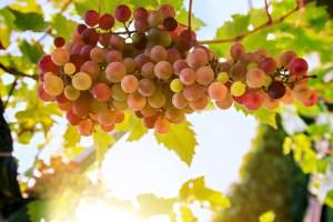 chasing grapes