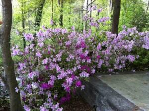 Azaleas In My Garden