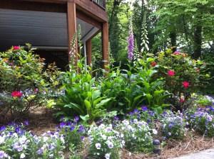 Foxgloves in my June Garden