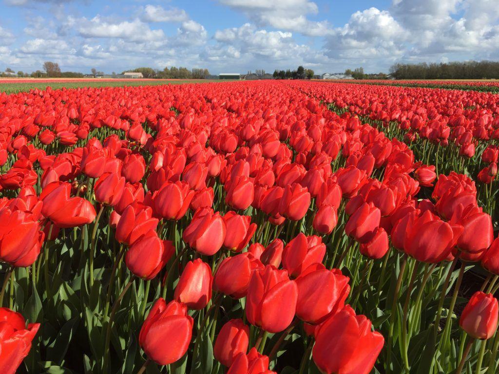 Tulipanes en Holanda – Los maravillosos Jardines de Keukenhof