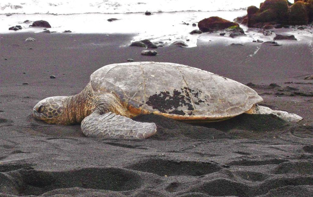 big-island-turtle