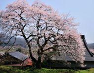 広島の桜のおすすめスポット2015開花時期と駐車場情報