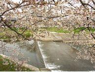 愛知の桜祭りが開催される花見スポットは?駐車場&開花情報