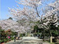 神奈川の桜 開花予想2015!人気の各スポットの見ごろはいつ?