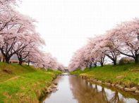 福島の桜 見頃情報2015!各スポットの見ごろ&駐車場の紹介