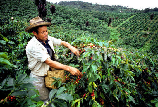Colombia Coffee Picker