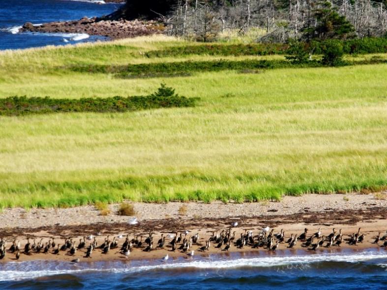 Caribou Nova Scotia