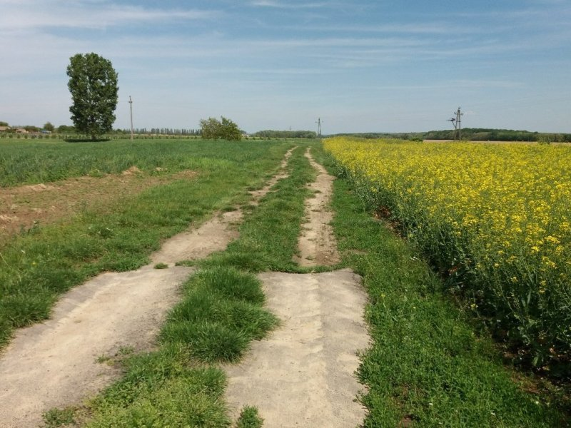 Dirt path through fields of yellow rapeseed