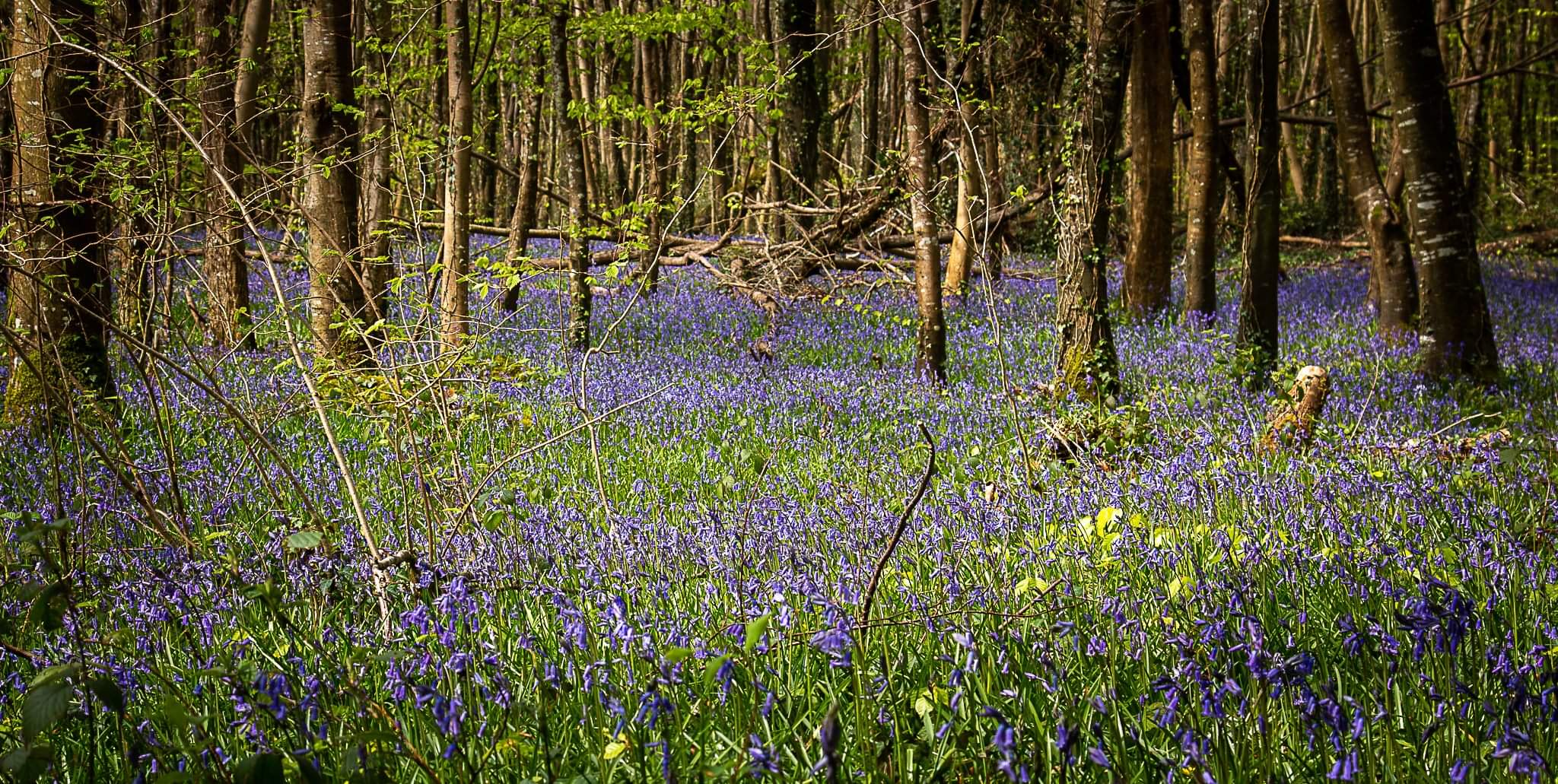 Bluebells in Killinthomas Wood