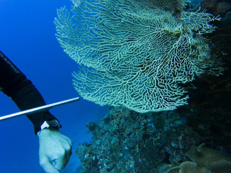 bébé hippocampe sur un corail