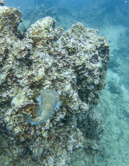 Thailande - Koh Bida - plongee - pufferfish