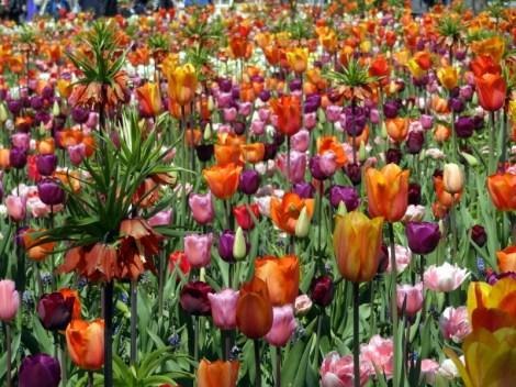 Tulipes à perte de vue