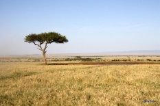 acacia-parasol-masai-mara