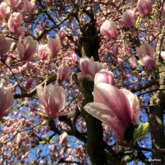 Magnolia-sur-langasse-Berne
