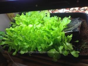 Les mêmes salades quinze jours plus tôt ...