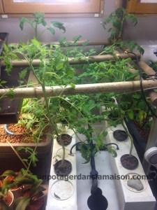 Mes 6 pieds de tomates en hydroponie (AéroFlo et Floraserie). Cerise noire, cerise verte, rose de Berne et banana legs