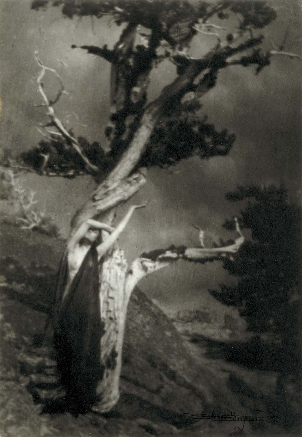 The Dying Cedar