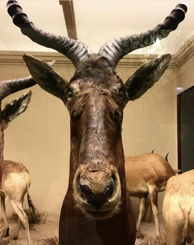 A derpy breed of antelope at the Chicago Field Museum. Photo by my friend, Jon.