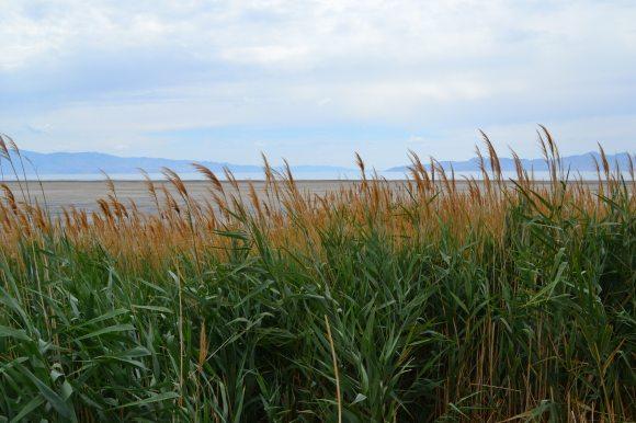 Grasses, Salt Lake