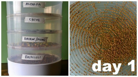 Day 1 Stack of Seeds and Alfalfa Sprouts