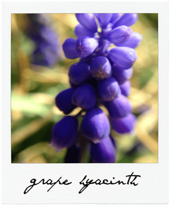 Grape Hyacinth An Unrefined Vegan