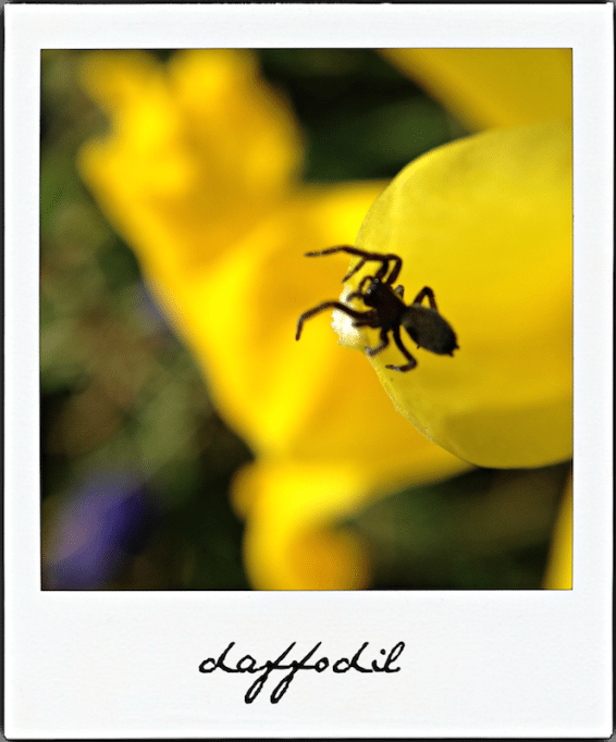 Spider on Daffodil An Unrefined Vegan