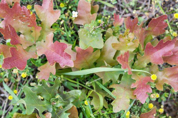 Oak Leaves An Unrefined Vegan
