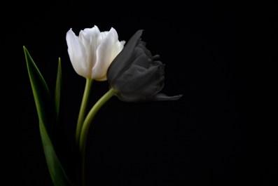 Rosa blanca y rosa negra