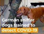 Geschulte Hunde riechen das neue Coronavirus mit einer Genauigkeit von 94 Prozent