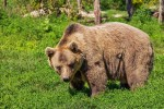 Siebenbürgen: Bärenangriffe auf Menschen und Schafe