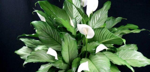 """Pojedynczy liść (Spathiphyllum) - """"szczęście kobiet"""": magiczna roślina dla kobiet"""