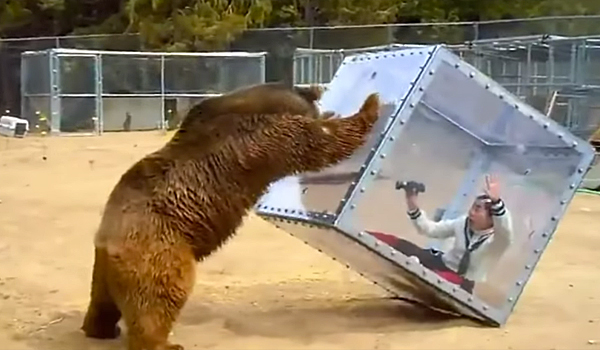 Japanese Game Show: Bear Attacks On Humans in a Box