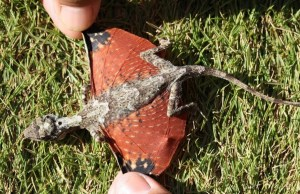 DRACO VOLANS: TINY DRAGON DISCOVERED IN INDONESIA