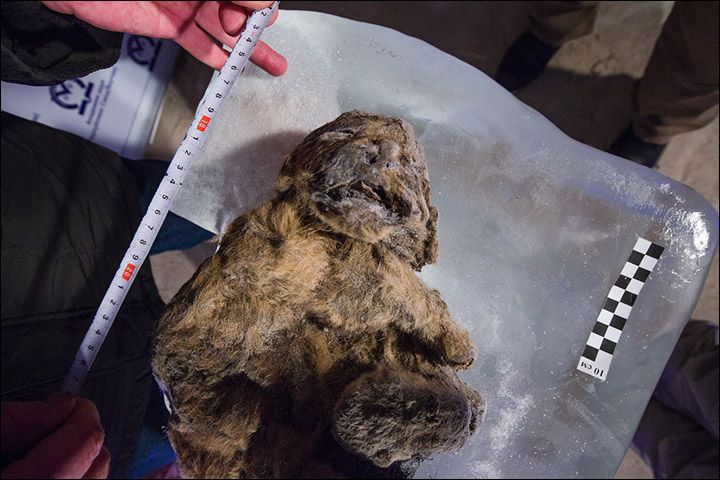 12,000 Year Old Extinct Cave Lion Cubs Discovered in Siberia