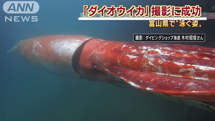 4-Meter Rare Giant Squid Caught On Camera Cruising Through A Harbor In Japan