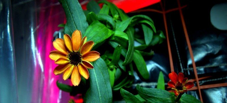 First-Flower-Grown-On-International-Space-Station-768x350