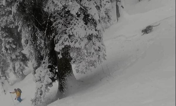 Rare Snow Leopard of Kashmir