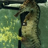 Male Seahorse Giving Birth To 2,000 Baby Seahorses